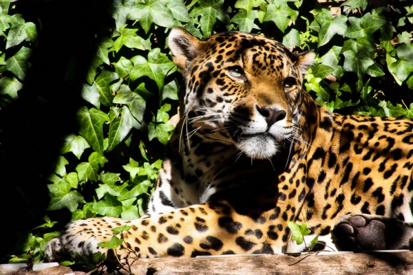 Jaguar, typical specie living in the Baritu National Park danhuse/Flickr
